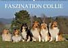 Faszination Collie 2015 (Wandkalender 2015 DIN A2 quer)